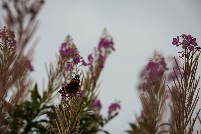 Red Admiral butterfly. Biodiversity.