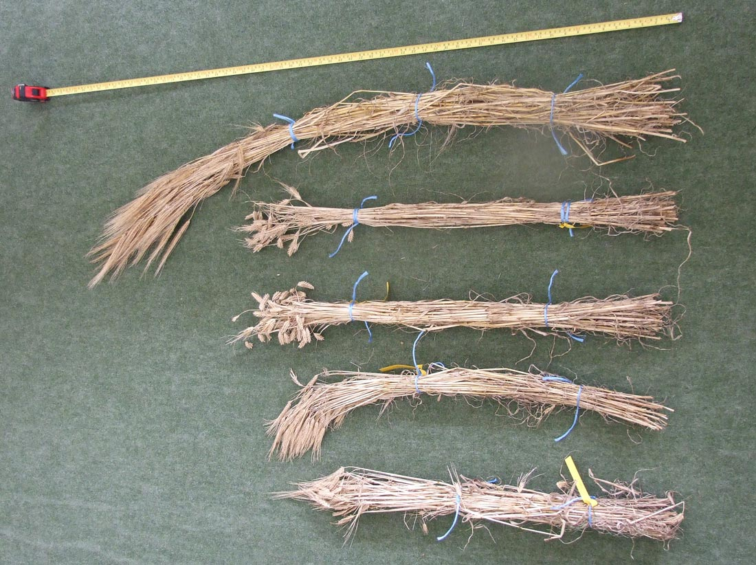 Fig. 2. Stems of Bere (top) compared with 4 other barley varieties.