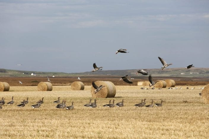 Damage by Greylag Geese