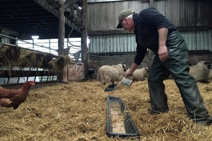 Waste flour from Bruichladdich's mill is useful for the sheep on the croft