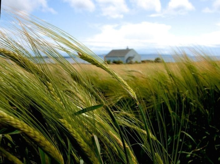Malting barley growing at Octomore Farm on the Rhinns of Islay